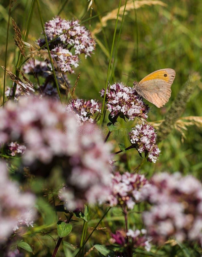Small Heath feeding on nectar stock photos