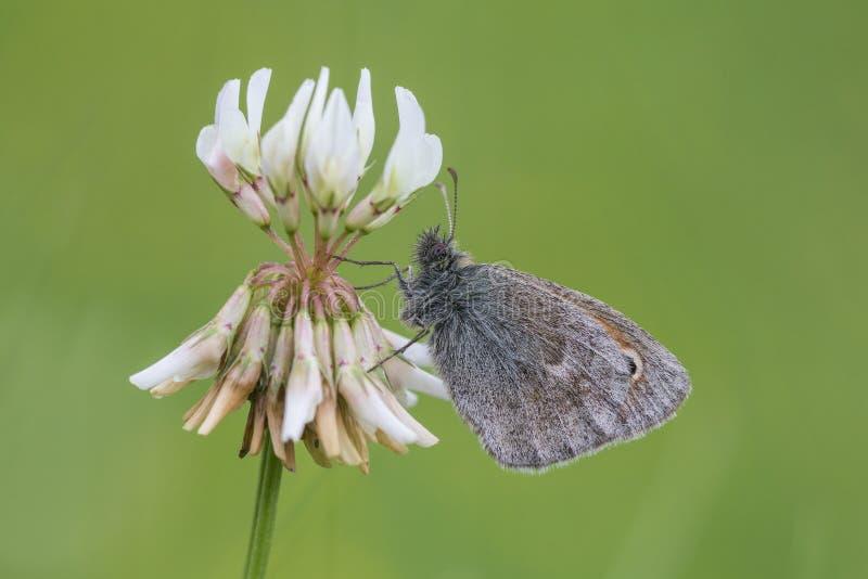 Small Heath feeding on white clover flower stock images