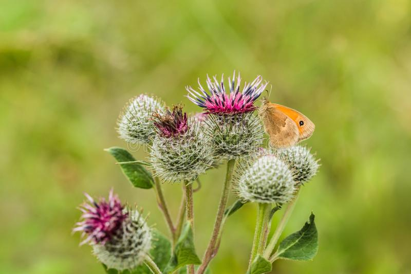 The small heath, an orange and brown butterfly, on thistle stock image