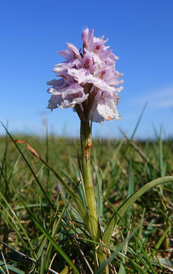 Small wild orchid in rough pasture. A small Heath Spotted-orchid flower in rough pasture on the island of Tiree in Scotland royalty free stock photography