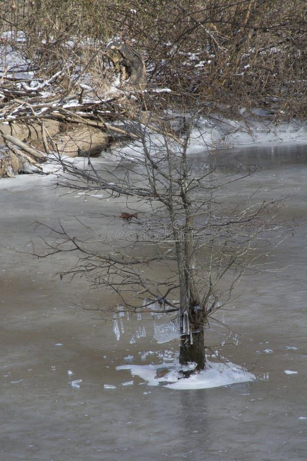Small hemlock tree in pond ice stock images