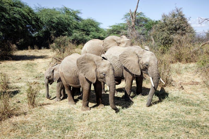 Small herd of African Elephants stock image