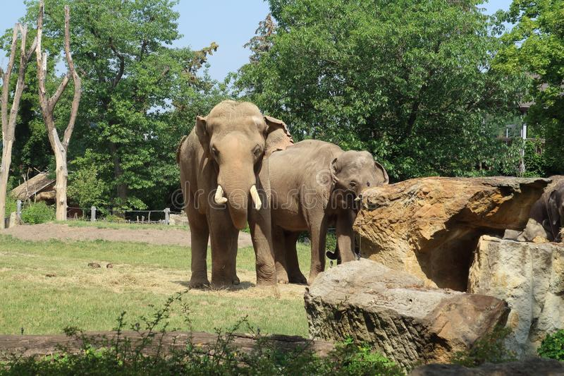 A small herd of Asian Elephants walking through the trees and rocky landscape royalty free stock photography