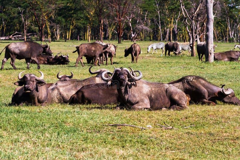 Small herd of buffalo at resting. Masai Mara, Kenya. Africa royalty free stock photography