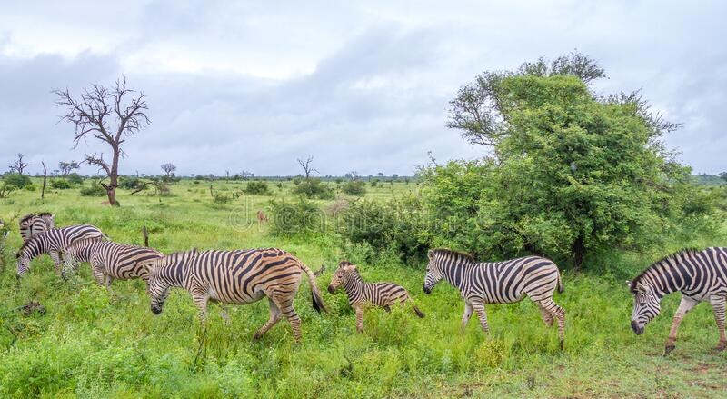 A small herd of Burchell`s zebras royalty free stock image
