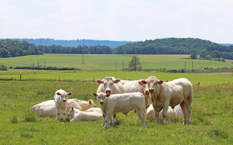 Small herd of Charolais cattle stock images