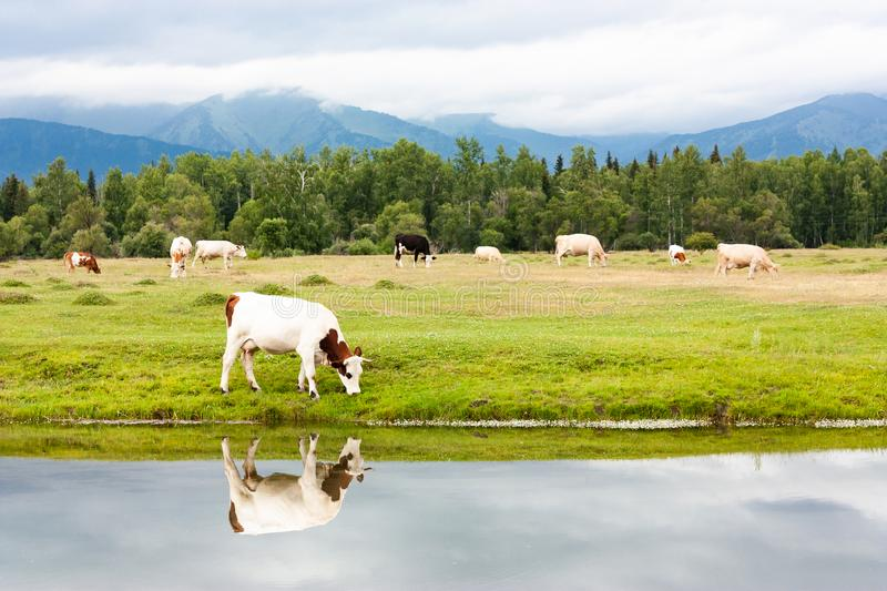 A small herd of cows grazes by the river in a meadow. Eat fresh green grass. A cow is reflected in the water stock photography