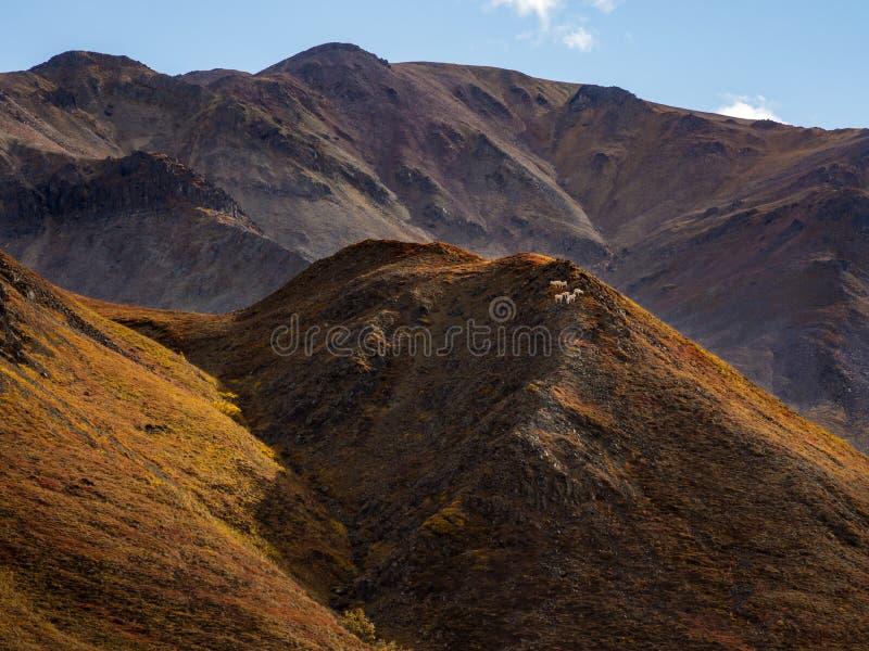 Dall Sheep on Mountain Ridge, Autumn Landscape, Denali National Park royalty free stock image