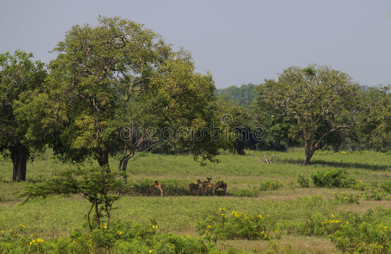 A small herd of deer resting under a tree during a hot afternoon. Yala Park, Sri Lanka stock image