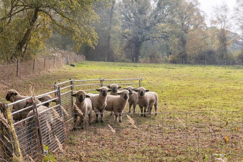 Hampshire Down herd royalty free stock photo