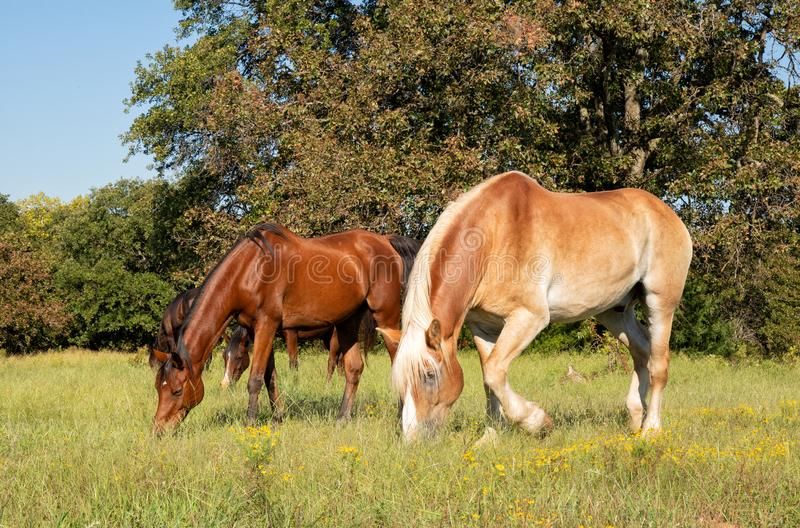 Small herd of horses grazing on a sunny fall pasture stock photography