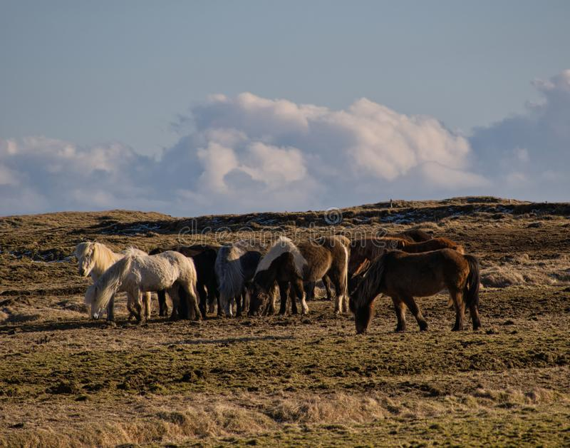 Small herd with Icelandic horses in a pasture stock photos