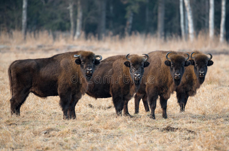 A small herd of large brown bison with big horns standing on the field in the background of the forest. A herd of bison grazing on the field.Four large brown stock images