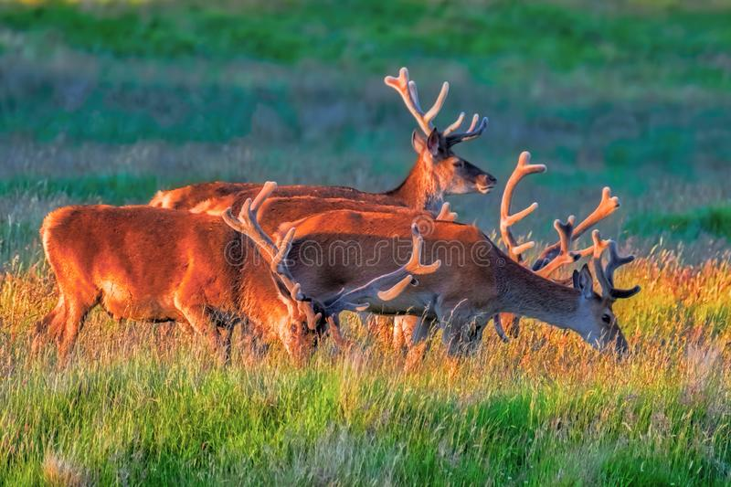 Small herd of Red deer stags stock photography