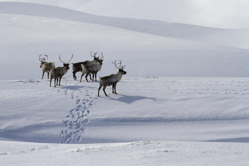 A small herd of Reindeer standing on a snow-covered hill in a wi royalty free stock photos