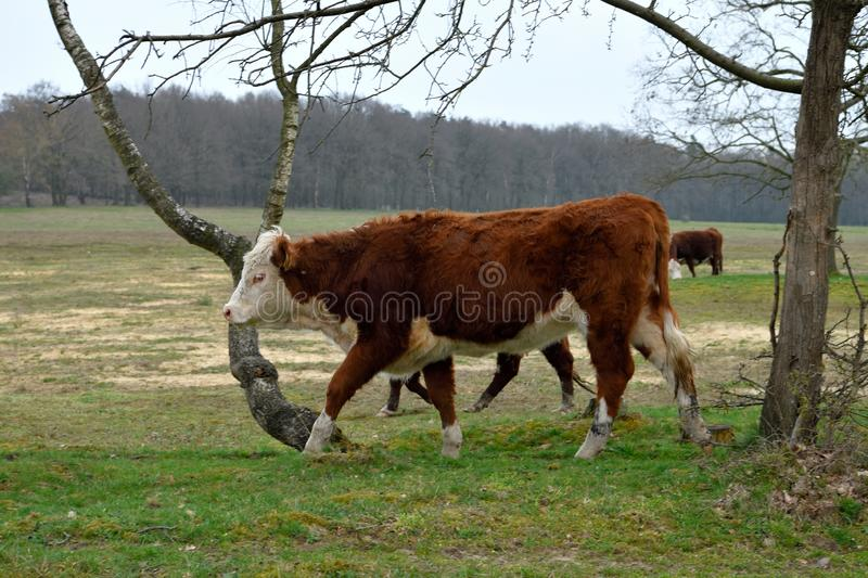 A small herd is roaming the surroundings of an ancient burial site. A young white and red brown coloured cow walks along.  It`s still March. Nature Park stock photos