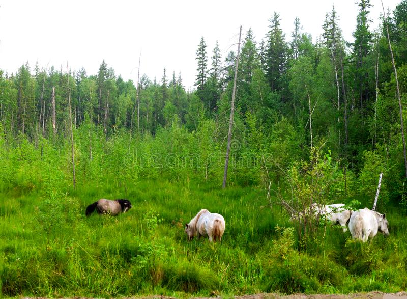 A small herd of Yakut horses of the swamp near the taiga Northern spruce. royalty free stock photography