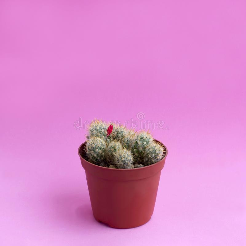 Small homemade cactus on pink background. Small homemade cactus in plastic pot on pink background. Succulent plants. Mammillaria prolifera. Minimal fashionable royalty free stock image