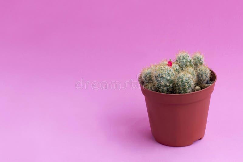 Small homemade cactus on pink background. Small homemade cactus in plastic pot on pink background. Succulent plants. Mammillaria prolifera. Minimal fashionable stock photos