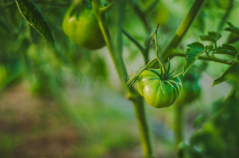 Small homemade green tomatoes on a bush growing in greenhouse conditions closeup, blurred background.  royalty free stock photos
