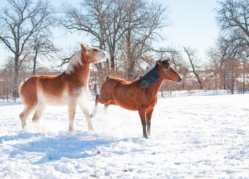 Small horse kicking out at a big horse in snow stock image