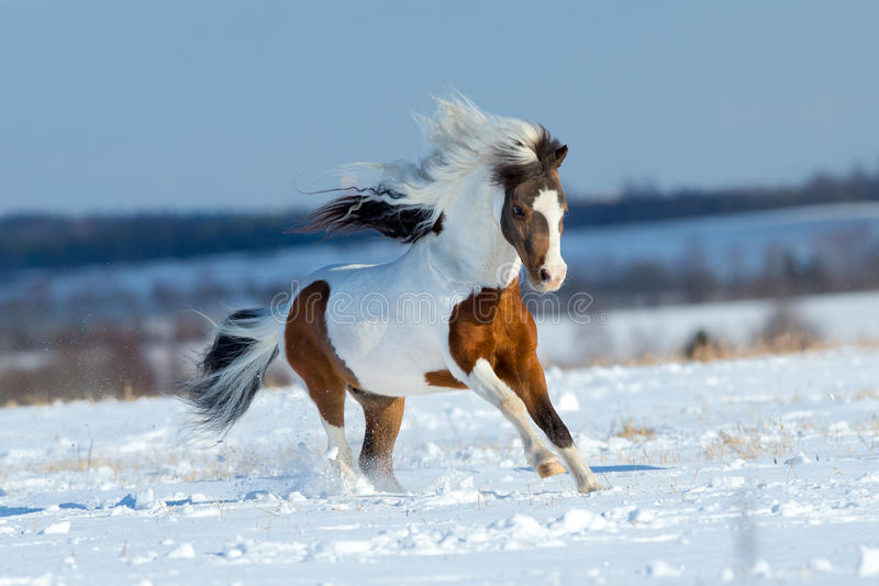 Small horse running in the snow in field. In winter background stock photos