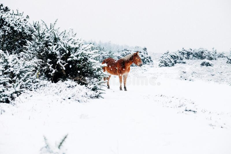 Small Horse In The Snow royalty free stock photo