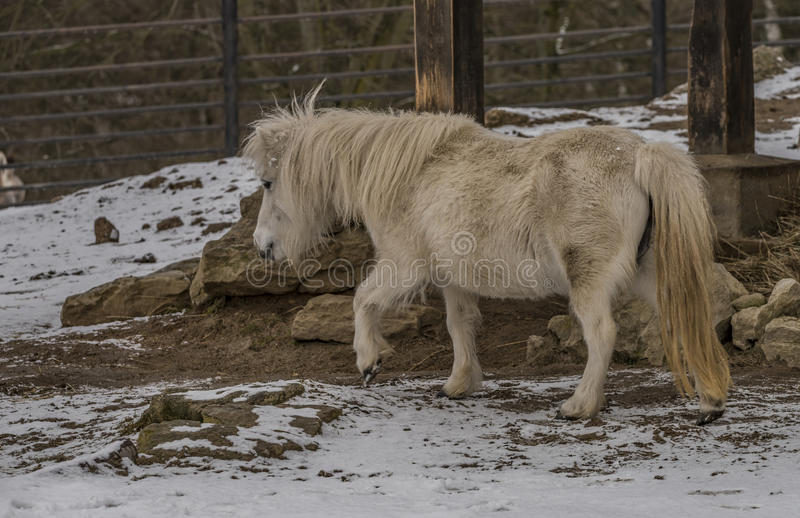 Small horse in ZOO Liberec in winter day stock images