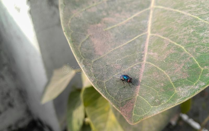 Small housefly sitting in the green leaf of plant growing in garden, insect and nature photography royalty free stock photos