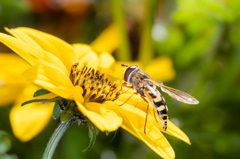 A small hover fly on a beautiful yellow flower - macro shot stock image