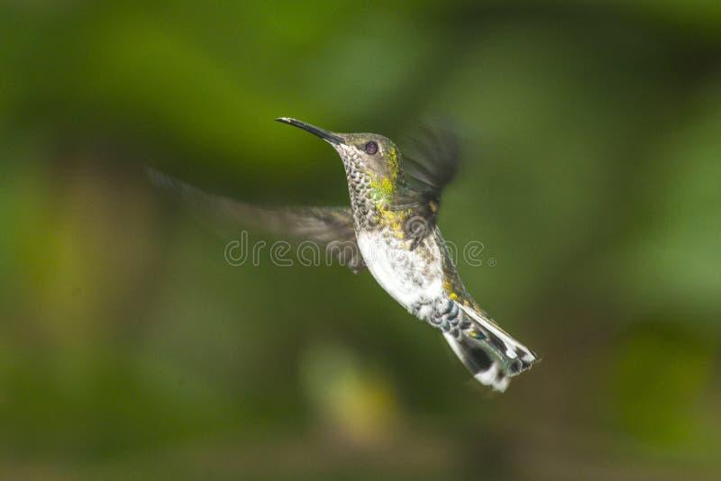 Small hummingbird stock photo