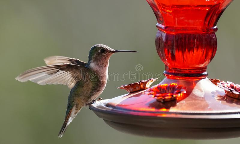 A Small Hummingbird Getting Ready for a Drink stock photo