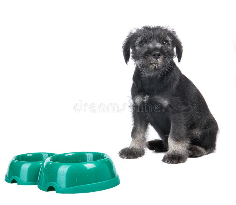 Small hungry mittelschnauzer puppy near empty dog bow stock image