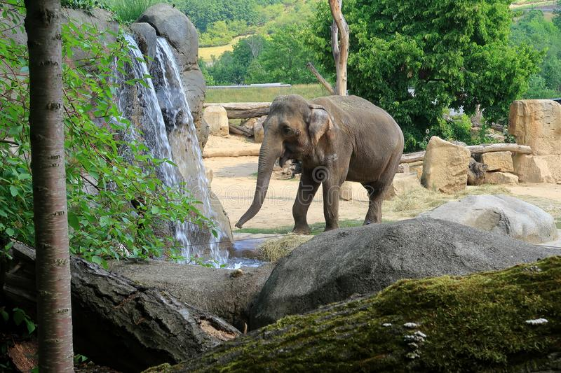 A small Indian Elephant walking by a waterfall stock images