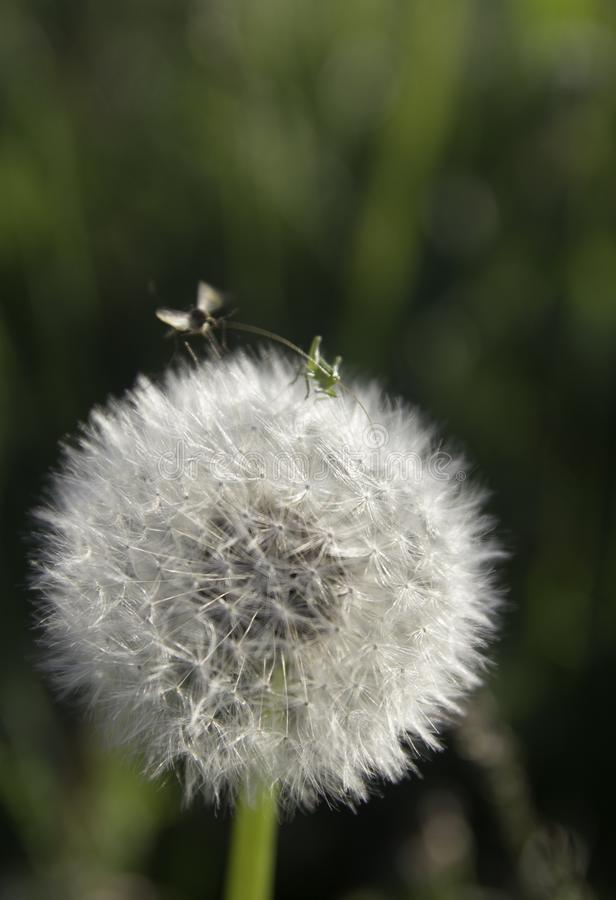 Small insects and dandelion royalty free stock photo