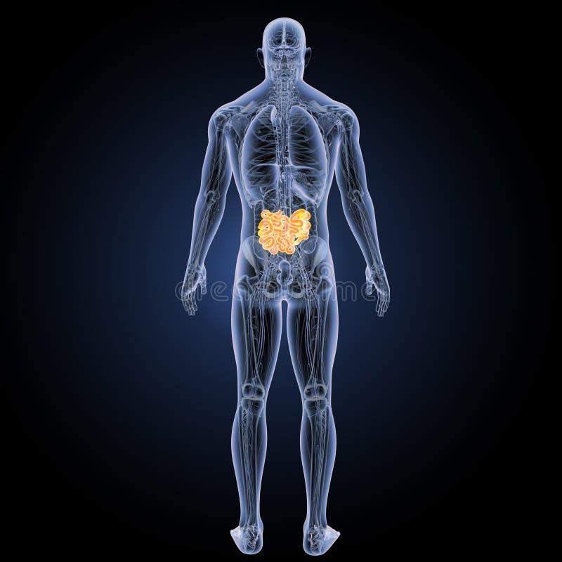 Small Intestine With Anatomy Posterior View Stock Illustration