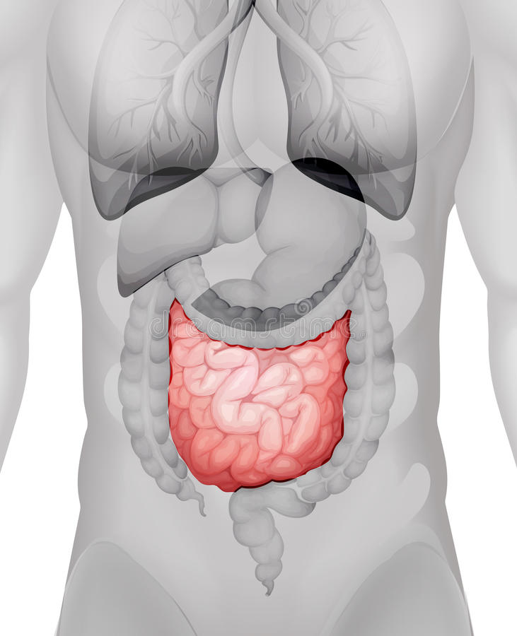 Small Intestine Diagram In Human Stock Illustration Illustration