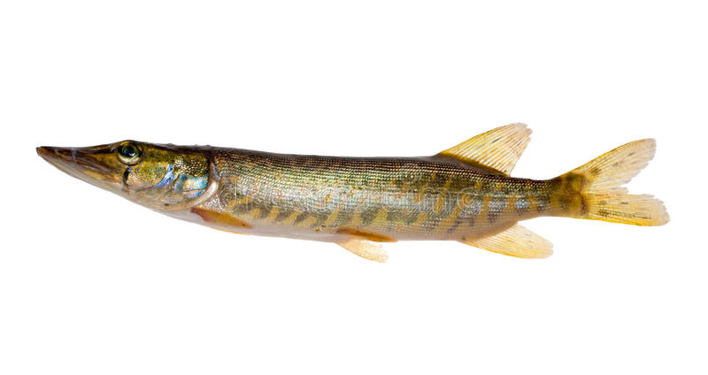 Download Small isolated pike stock image. Image of macro, single - 15547717