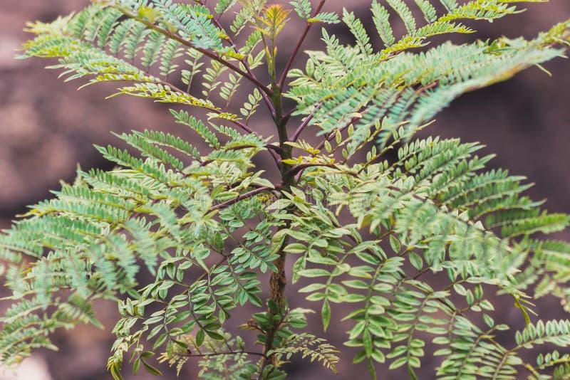 Small Jacaranda Tree Branch With Tiny Leaves Stock Photo ...