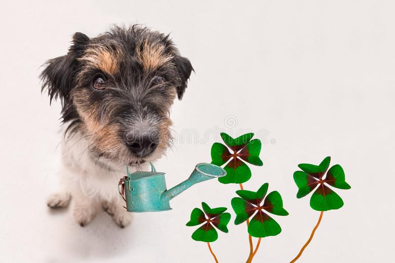 Small Cute Jack Russell Terrier dog carries a watering can and sits on the ground with four-leaf clover leaves. Funny perspective royalty free stock images