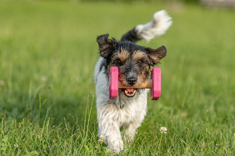 Tricolor cute small Jack Russell Terrier dog is holding a dumbbells in the catch outdoor. Doggz is runnig across a green meadow. Small Jack Russell Terrier dog stock images