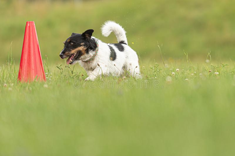Small Jack Russell Terrier dog runs around a pylon. Jack Russell Terrier dog runs around a pylon royalty free stock photography