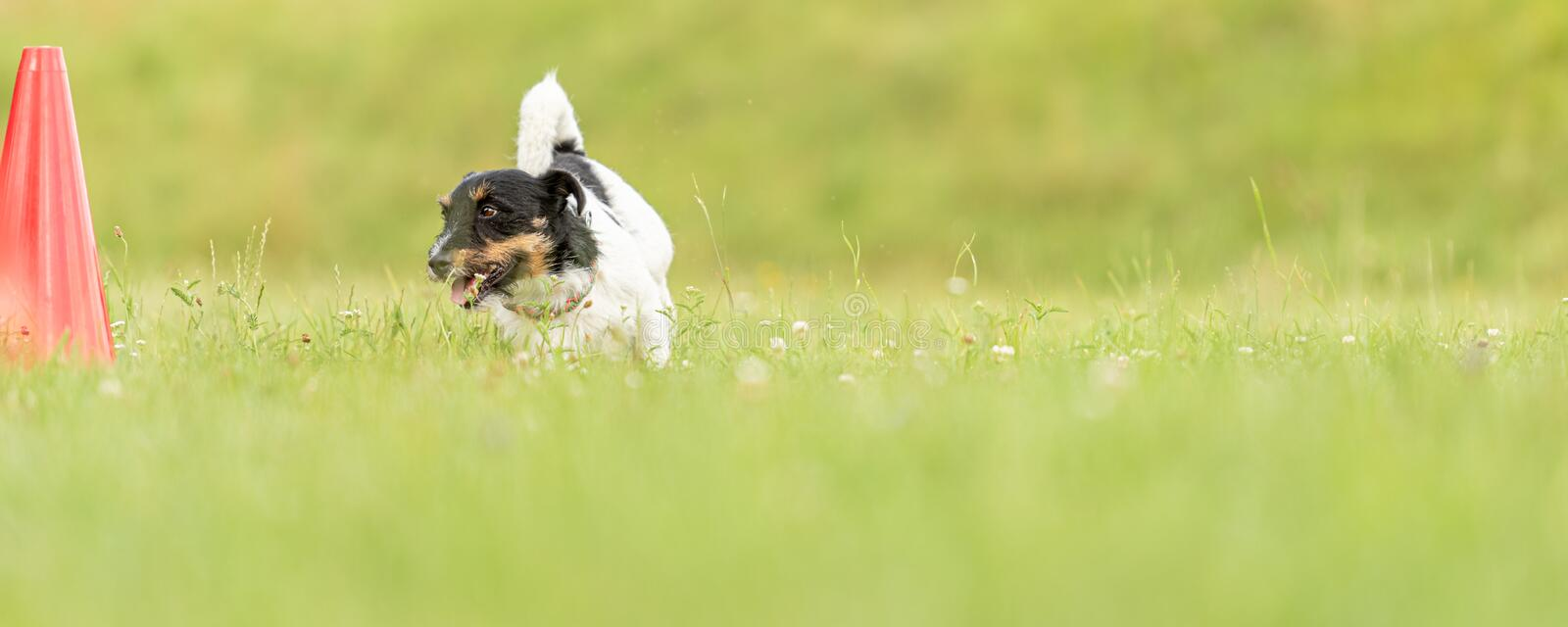 Small Jack Russell Terrier dog runs around a pylon. Jack Russell Terrier dog runs around a pylon royalty free stock image