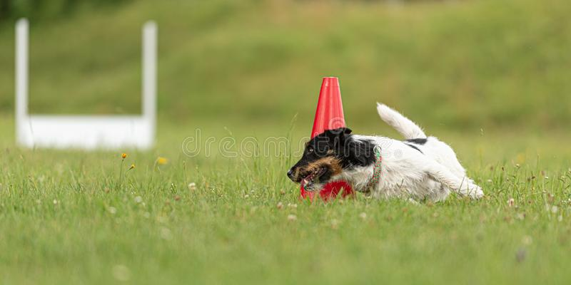 Small Jack Russell Terrier dog runs around a pylon. Jack Russell Terrier dog runs around a pylon royalty free stock photos