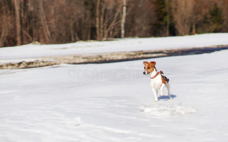 Small Jack Russell terrier playing in snow by the river on sunny day, looking curious, one feet up stock images