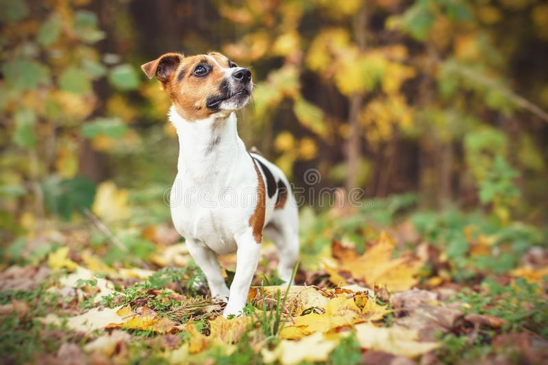 Small Jack Russell terrier walking on leaves in autumn, yellow and orange blurred trees background stock photo