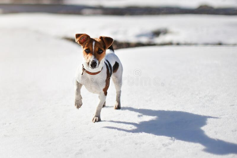 Small Jack Russell terrier walking on melting snow covered river.  stock image