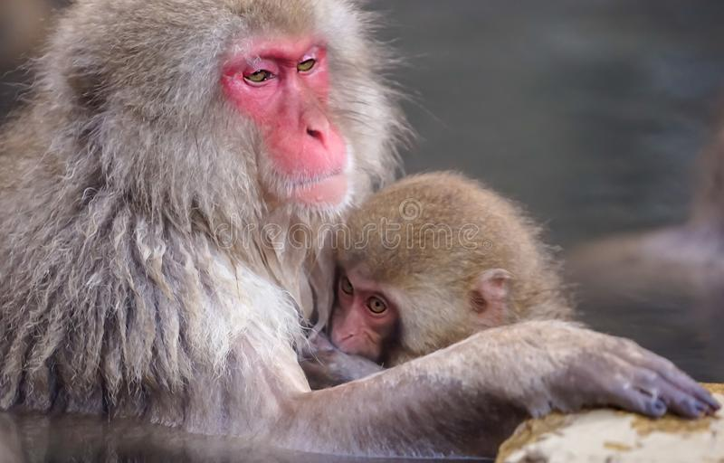 A small japanese monkey in his mother chest during taking a baht. In Jigokudani, Japan royalty free stock photography