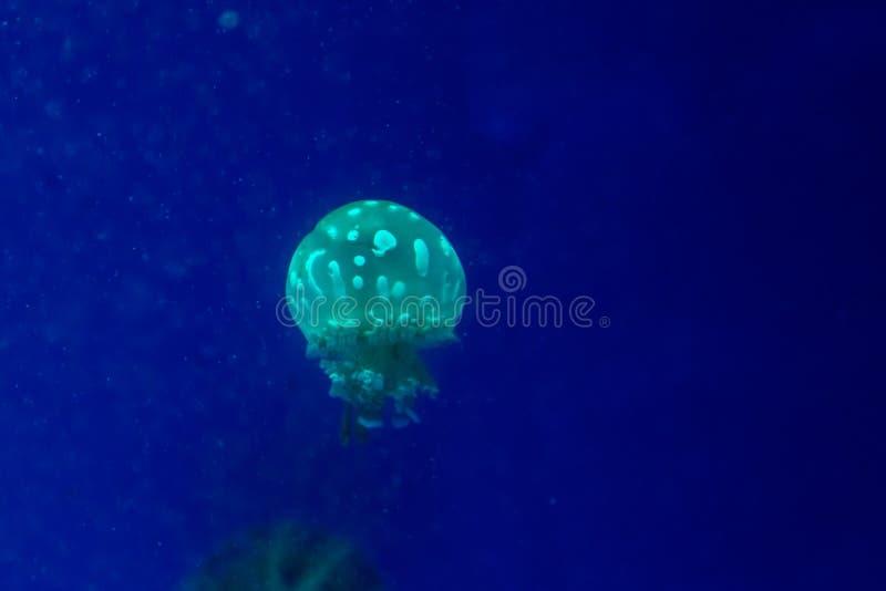 Small jellyfish stock image