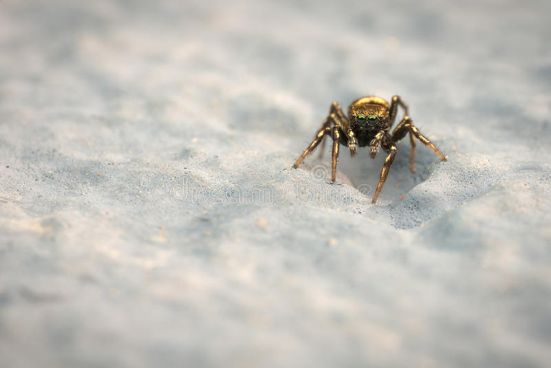 Download Small jumping spider stock photo. Image of arachnid, wildlife - 24234480